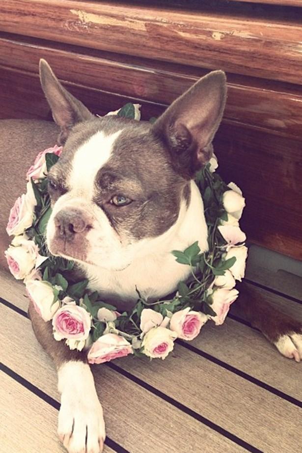 <p>Daphne the Boston terrier dons a custom flower garland</p>