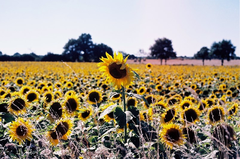 A sunflower outgrows its surroundings in the Loire Valley