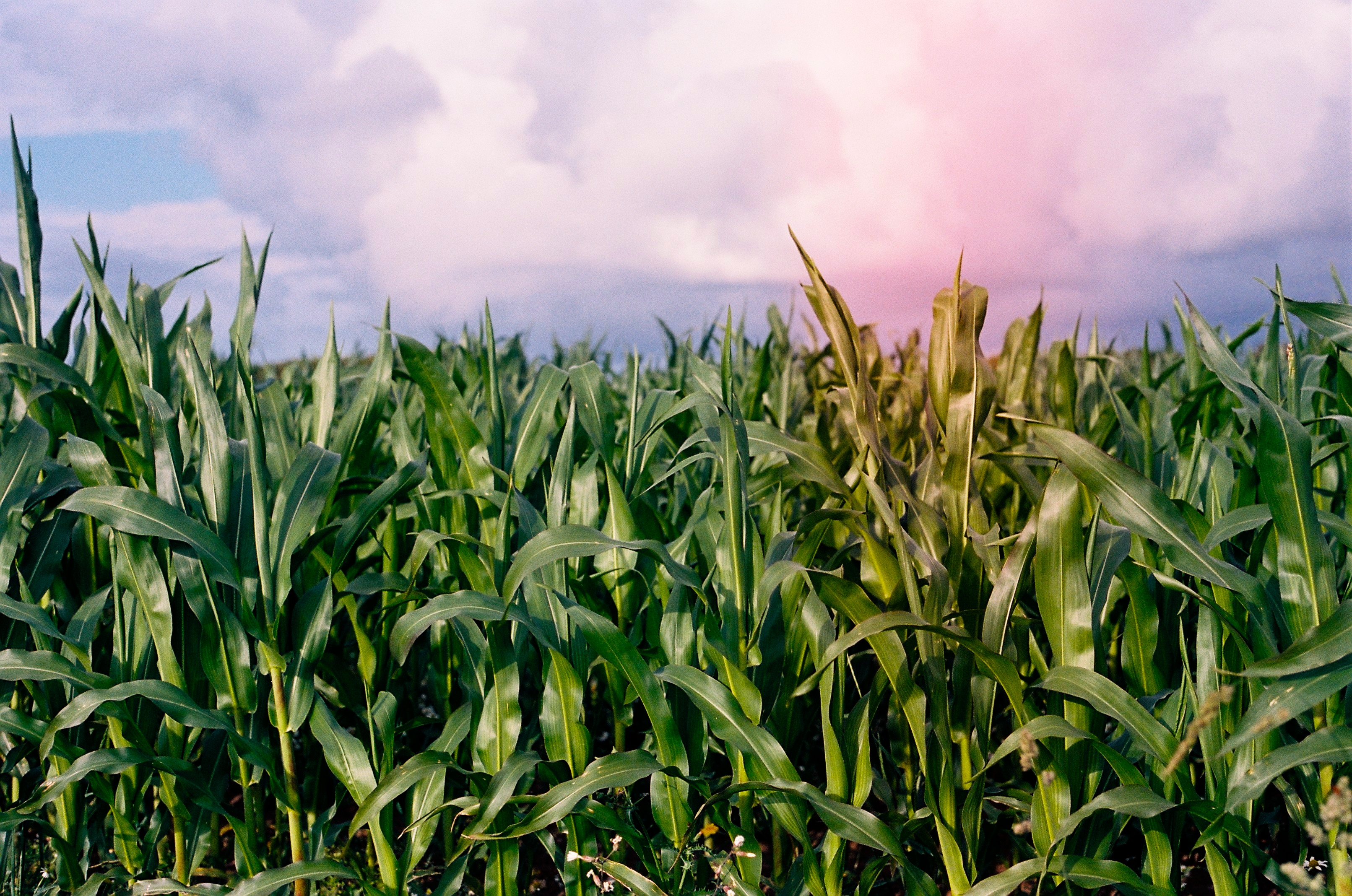 Corn crops grow opposite Brittany's coast