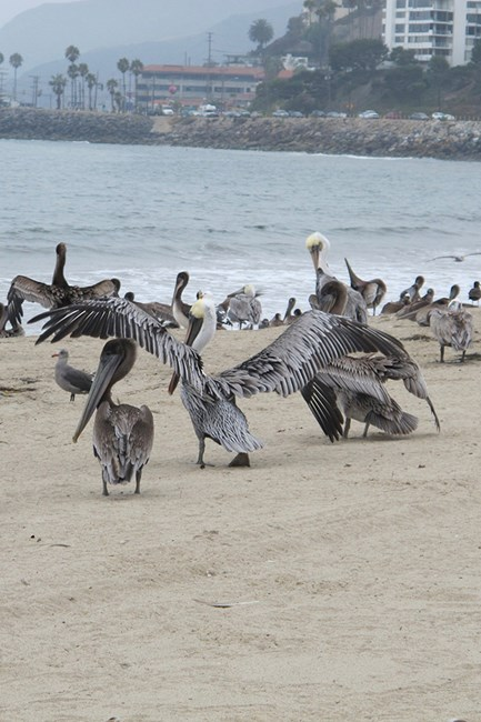A hazy day in Malibu taking in the amazing beach and pelicans.