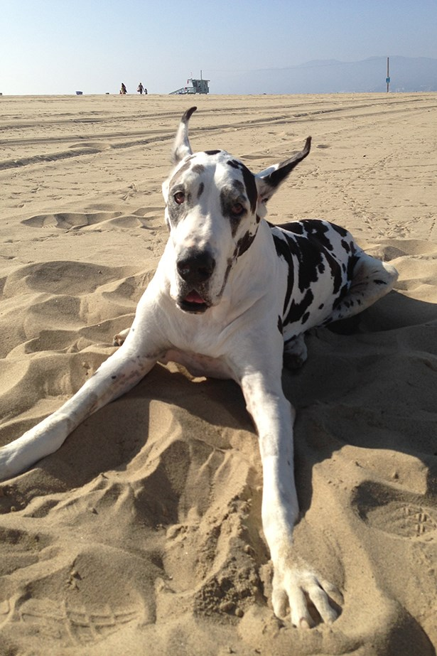 Meet Harlequin Great Dane Shah Shah Jaeger the second, who came complete with two minders and a day bed.