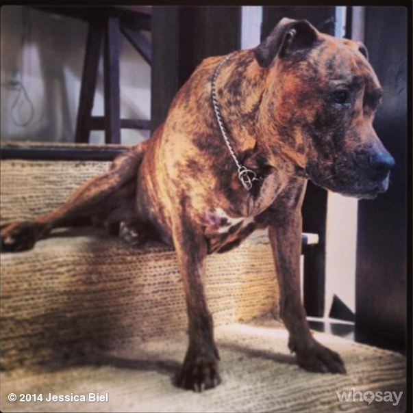 #TuesdayswithTina is a weekly Instagram update by Jessica Biel featuring her pup, Tina.