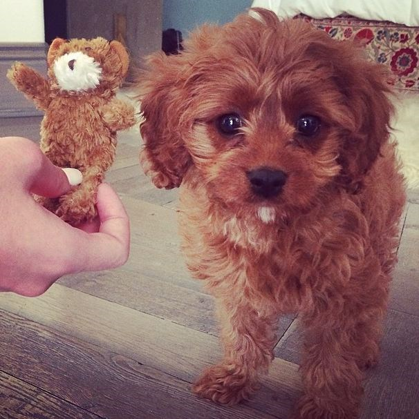 Dog or toy? This picture of Katy Perry's latest family member, Butters, cannot be dealt with.
