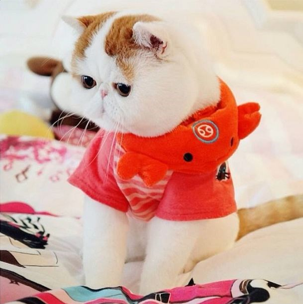 <strong>Snoopybabe</strong><br> <strong>Claim to Fame</strong>: Looking like something out of a cartoon, Snoopybabe is often dubbed the 'cutest cat in the world' after coming to global attention when his owner, known only as 'Miss Ning' started sharing him on Instagram and Weibo.
