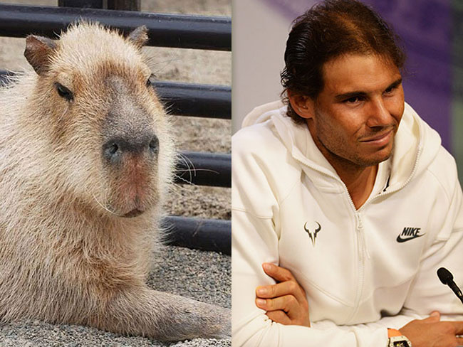 12 times Rafael Nadal was twinning with a Capybara