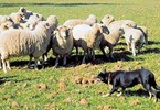 Uni urges farmers to help improve working dog performance