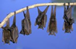 Bats have been linked to Hendra Virus