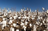 Rural exports like cotton are heavily affected by the mining boom and high Australian dollar.