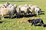 Farm dogs are valuable assets to farmers and the University of Sydney is currently working to improve their performance.