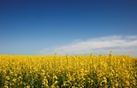 Steve Marsh says his neighbour, Michael Baxter, contaminated his organic canola farm