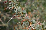 Graziers have received a boost in the fight against prickly acacia and bellyache bush