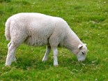 Researchers have completed the first sequencing of the entire sheep genome