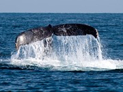 Sightings indicate the New Zealand humpback population is increasing.
