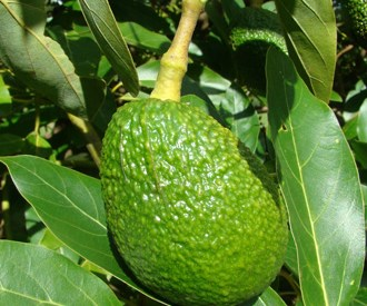 Avocados Australia appoint new CEO